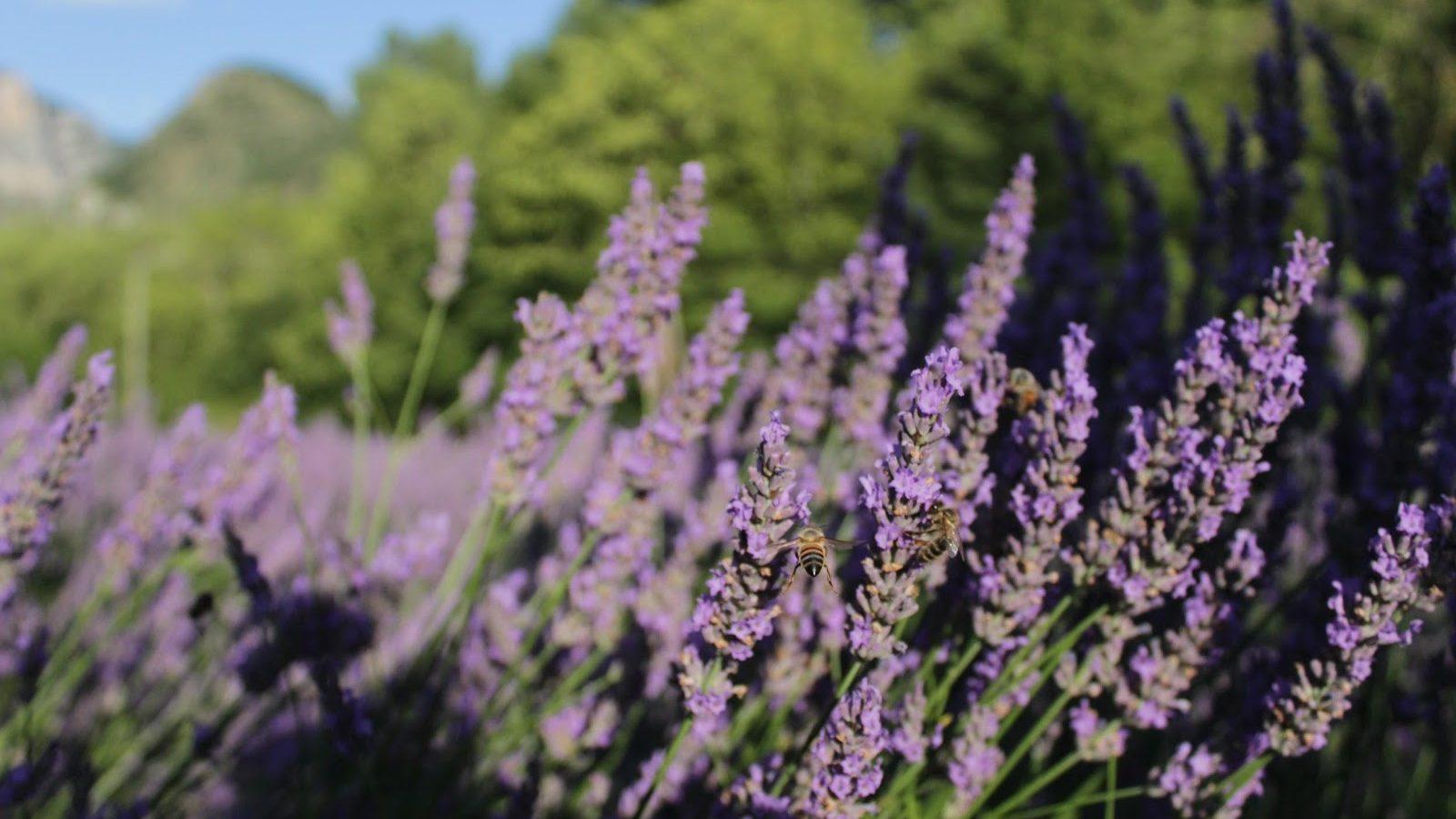 Lavenders & Wellbeing