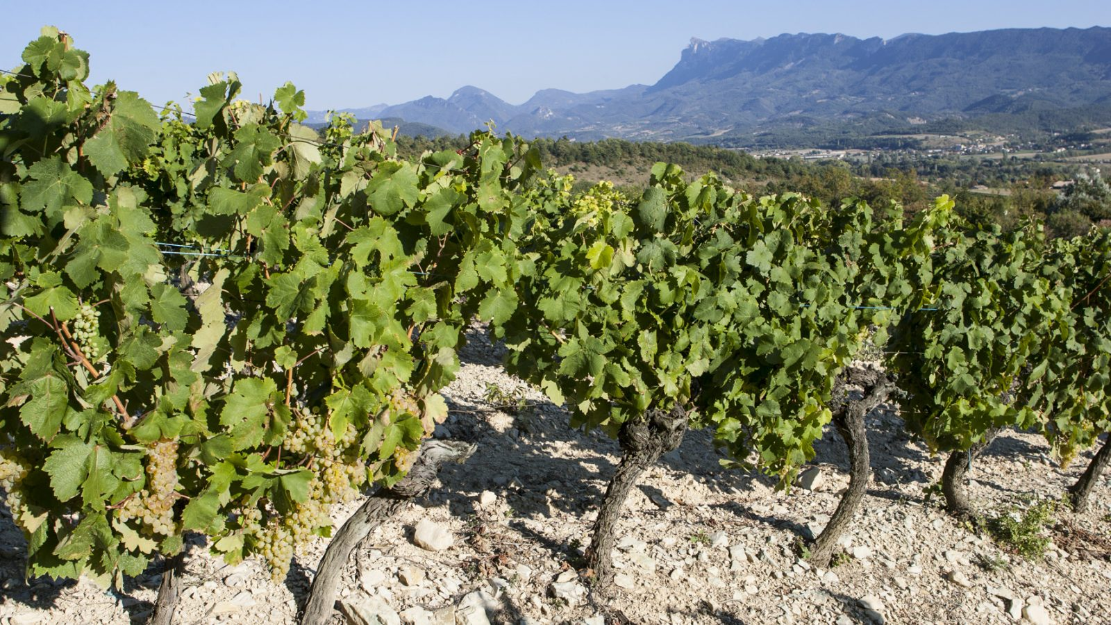 The clairette wine